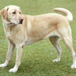 perro grande de raza labrador retriever