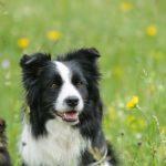 imagen del perro border collie