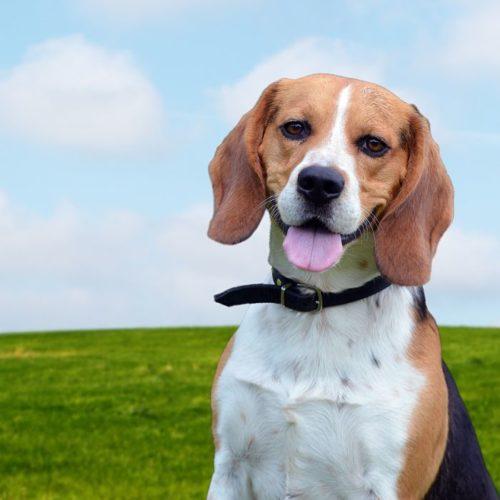 carateristicas de la raza de perro beagle