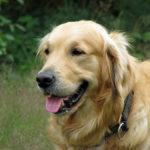 imagen del perro golden retriever