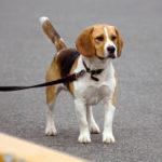 pero pequeño de raza beagle