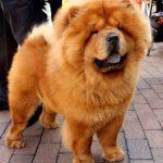 perro de raza chow chow