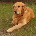 perro grande de raza golden retriever