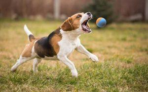perro jugando con la pelota de goma snug