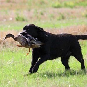 Labrador Retriever americano
