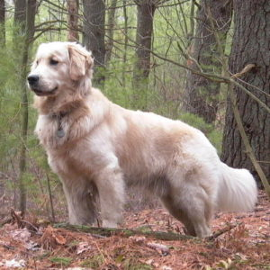 golden retriever dorado claro