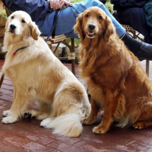 golden retriever colores dorado claro y oscuro