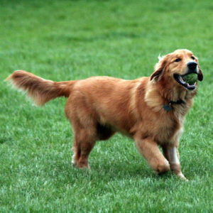 golden retriever dorado oscuro
