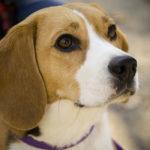 imagen del Beagle