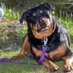 imagen-del-Rottweiler
