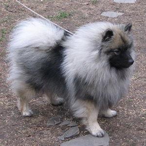 Pomerania gris matizado